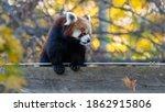 Red Panda  Lesser Panda ...