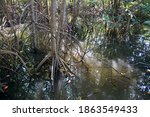 Prop Root Or Buttress Root Of...