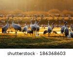 Crane Birds  Grus Grus  In...