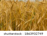 Wheat Field Texture Background...