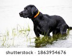 Black Lab Hunting Dog Standing...