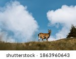 A Chamois Buck Stands On A...