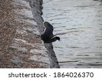 American Coot Bird By The Lake