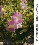 Light Pink Ornamenttal Flowers...