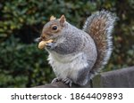 A Squirrel Eating A Peanut At...