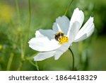 Bumblebee Inside A White Garden ...