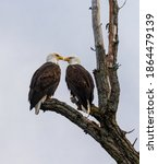 Mated pair of bald eagles perched in a tree with their beaks close to each others