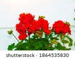 Red Garden Geranium Flowers In...