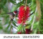 Male Ruby Throat Hummingbird  ...