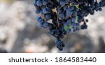 a bunch of blue ripe grapes on... | Shutterstock . vector #1864583440