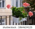 The Blossoming Geranium Flowers ...
