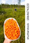 Cloudberry at Lapland, Finland. It is rich in vitamin A, B, C, E and antioxidants. (other names include nordic berry, bakeapple,knotberry and knoutberry, aqpik or low-bush salmonberry)