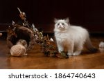 Fluffy Kitten Indoors. Bicolor...