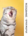 The Gray Scottish Fold Cat...