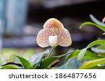paphiopedilum concolor or...   Shutterstock . vector #1864877656