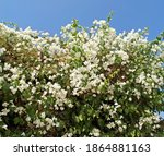 Bougainvillea Is Wonderful  A...