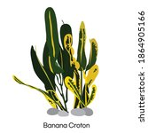 Banana Croton Vector...