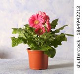 Gerbera Pink Flower In A Pot Is ...