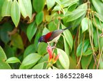 Small photo of beautiful male black-throated sunbird (Aethopyga saturata) with flower