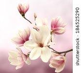 fresh magnolia flower and tree  | Shutterstock . vector #186525290