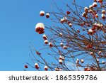 Red Rowan Berries Covered With...