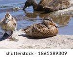 Young Mallard Ducks On...