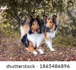 Pair Of Sable Colored Rough...