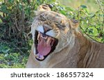 Marsh Pride Lioness Yawning In...