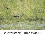 Lapwing In Autumn Rice Field