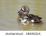 Blue Winged Teal Swimming Alon...