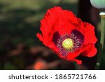 Red Poppy Flower With Pale...
