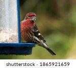 Male Purple Finch  Carpodacus...