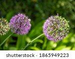 Beautiful Flower Head Of Allium ...