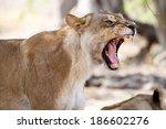 angry lion growl at okavango... | Shutterstock . vector #186602276