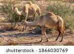 Camels In A Bushes In  The...