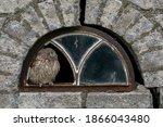 Curios Little Owl  Athene...