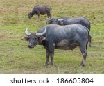 Asian Water Buffalo On The...