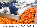 Ripe Red Tomatoes On Production ...