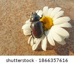 A Large Beetle Sits On A...