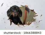 Small photo of Wild dachshund puppy cut hole in door or wall with axe and sticks out trying to get inside and chase his victim like in horror movie. Creepy scene with a pet maniac. fear of buying a puppy.