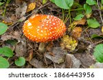 Old Red Fly Agaric  Amanita...
