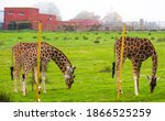 Tree Giraffes Eating And...