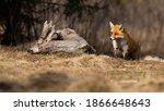 Adult Red Fox  Fox  Vulpes ...