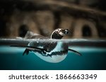 The Humboldt Penguin Swims In...
