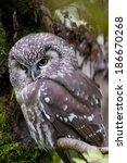Small photo of boreal owl, Tengmalm's owl, [Aegolius funereus]