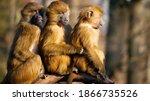 Baboons Family . Three Babons...