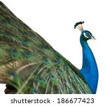 Isolated Peacock