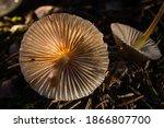 Mushrooms Containing Psilocybin ...