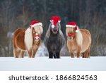 Three funny miniature shetland...