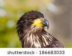 Young Bald Eagle   Haliaeetus...